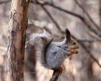 Écureuil sur un arbre Photographie stock libre de droits
