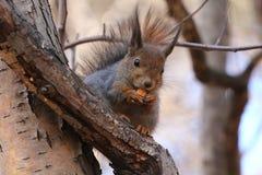 Écureuil sur un arbre Image libre de droits