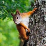 Écureuil sur un arbre Photo libre de droits