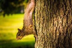 Écureuil sur un arbre dans le St Petersbourg, la Floride Images stock