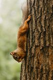 Écureuil sur un arbre mangeant un écrou photos stock