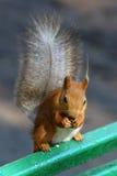 Écureuil sur un banc Photographie stock libre de droits