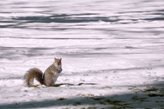 Écureuil sur un champ de Milou image stock