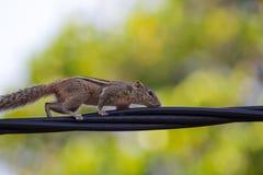 Écureuil sur un fil noir Images libres de droits