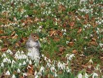 Écureuil sur un gisement de fleur blanche Photographie stock libre de droits
