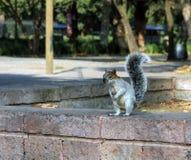 Écureuil sur un mur Photos stock