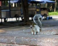 Écureuil sur un mur Photos libres de droits