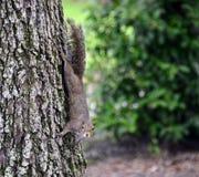 Écureuil sur un tronc d'arbre photo stock