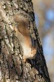 Écureuil sur un tronc d'arbre Photos libres de droits