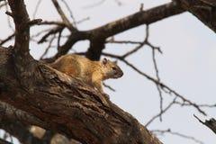 Écureuil sur une branche Images stock