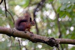 Écureuil sur une branche Image stock
