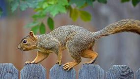 Écureuil sur une frontière de sécurité Photo libre de droits