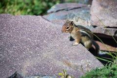Écureuil sur une roche, environnement de montagne Photos stock