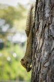 Écureuil variable de Brown accrochant vers le bas Photos libres de droits