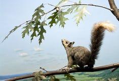Écureuil vers le haut de haute Photographie stock libre de droits