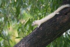 écureuils Photo libre de droits
