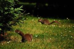 écureuils Image stock