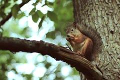 Écureuils avec l'écrou Images stock