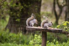 Écureuils avec un écrou dans la forêt Photographie stock libre de droits