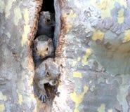 Écureuils curieux d'arbre dans la cavité Photos stock
