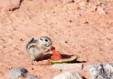 écureuils d'antilope Blanc-coupés la queue (leucurus d'Ammospermophilus) mangeant des écorces de pastèque Images libres de droits