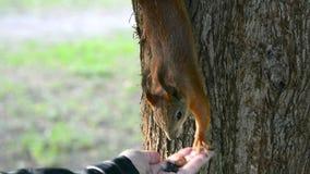 Écureuils de alimentation en parc avec ses mains clips vidéos
