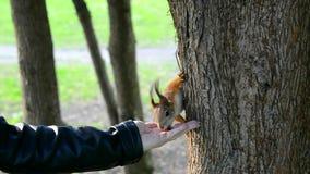 Écureuils de alimentation en parc avec ses mains banque de vidéos