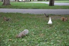 Écureuils de Brown avec l'oie photo stock