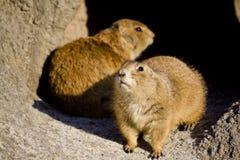 Écureuils de Brown dans la caverne Images libres de droits