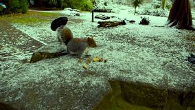 Écureuils drôles mangeant des écrous banque de vidéos