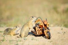 Écureuils européens reniflant autour du vélo en bois Photographie stock libre de droits