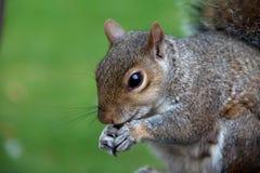 Écureuils gris Images libres de droits