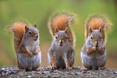 Écureuils mignons Photos libres de droits