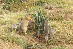 Écureuils moulus Images stock