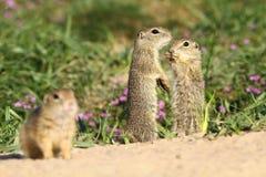 Écureuils moulus de bébé Photo stock