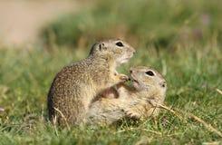 Écureuils moulus mignons Image libre de droits