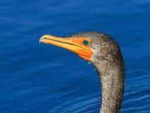 Égoutture de Cormorant dans des couleurs de l'eau et de plumage d'élevage Images stock