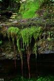 Égoutture de l'eau par la roche et les racines exposées d'arbre photos libres de droits