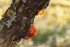 Égoutture de résine d'un arbre d'amande image libre de droits