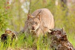 Égrappage de canadensis de lynx Images libres de droits