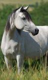 Égua árabe branca Imagens de Stock