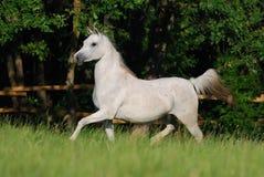 Égua árabe branca Imagens de Stock Royalty Free