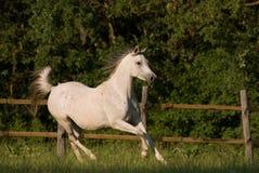 Égua árabe branca Fotos de Stock