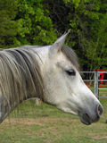 Égua árabe cinzenta fotos de stock royalty free