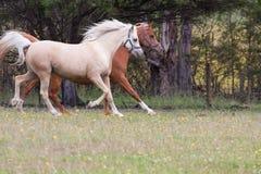 Égua árabe do palomino Imagem de Stock Royalty Free
