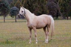 Égua árabe do palomino Foto de Stock Royalty Free