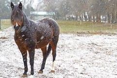 Égua árabe na neve Fotos de Stock