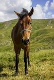 égua Imagem de Stock Royalty Free