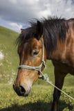 égua Imagem de Stock