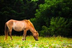 A égua Imagem de Stock